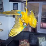 My young blue-and-gold macaw, Benni, doing his 'One leg, Benni' move on cue. Dot Schwarz, Essex