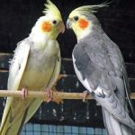 Here's a 'Mr & Mrs' photo of our cockatiels. Gina Ash, Boston