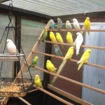 A few of my budgies enjoying getting out and about in the aviary. Robert Toon, via Facebook