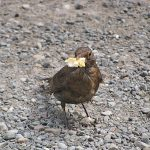"""""""Has anyone got any butter please?"""" This female blackbird practically knocks on the door every day for food. Christine Bonnett, via email"""