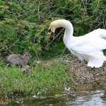 Big daddy swan chasing a rabbit away from the nest. Barrie Shutt, via Facebook