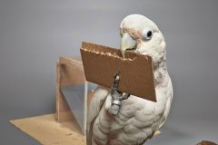 The four Goffin's cockatoos studied were each given larch wood, cardboard, leafy beech twigs and amorphous beeswax to construct tools out of. They could shape tools from the cardboard (above), beech twigs and larch wood, but not beeswax. Left: Goffin's cockatoos are not known for having evolved related abilities for manipulating twigs for other purposes, such as nest building