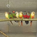 My breeding pairs of green-cheeked conures just before I paired them up for breeding. Kevin Sheridan, East Grinstead