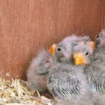 These youngsters are the 12-day-old chicks of our splendid parakeets. They are just starting to get their feathers through. Gina Ash, Lincolnshire
