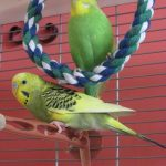 Here are my two budgies, Louis and Chester. Serena Weeden. via Facebook