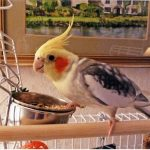 'Well, when are you going to fill my dish up then?' asks Charlie my cockatiel. Graham Whetton, Burton on Trent