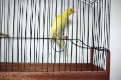 Canaries: Preparing for a dramatic debut