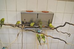 Budgerigars advice: a word from the wise