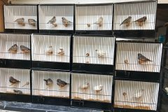 Zebra finch shows: six vital weeks