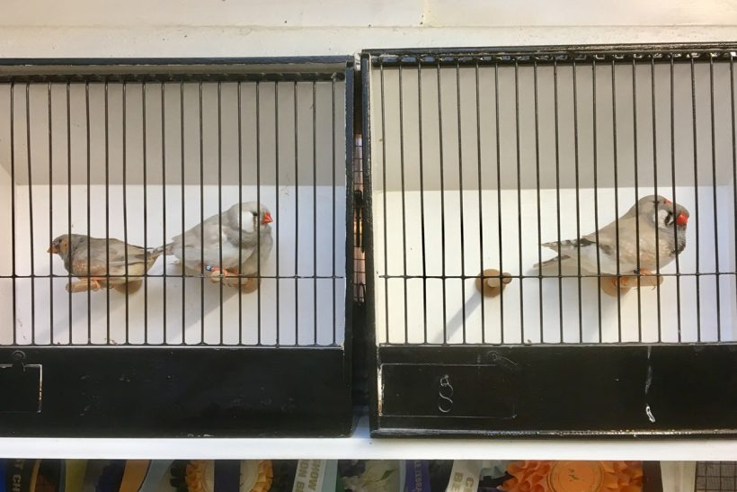 Zebra finches: making the final cut