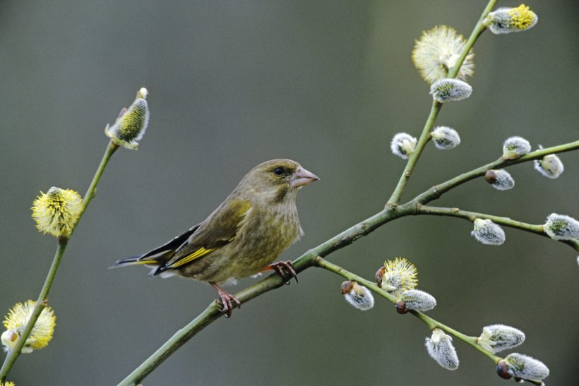 Green is only the start: name change for greenfinches