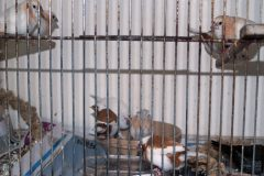 Feeding finches for show bench success