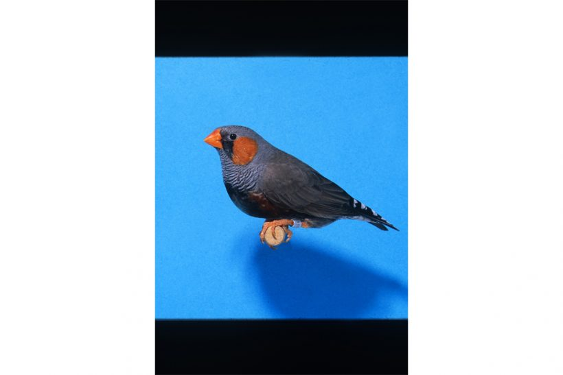 The black-faced zebra finch