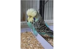 Budgerigars: breeding the birds