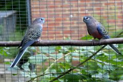 Final observations on Bourke's parakeets