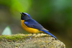 A trim and elegant Asiatic flycatcher