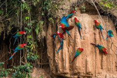 Parrots: A race against time in the neotropics