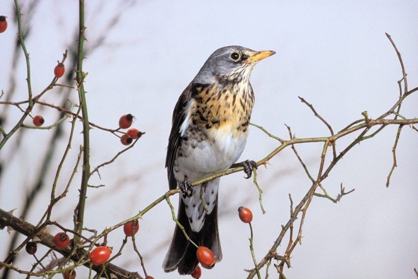 The fieldfare: On the wings of winter