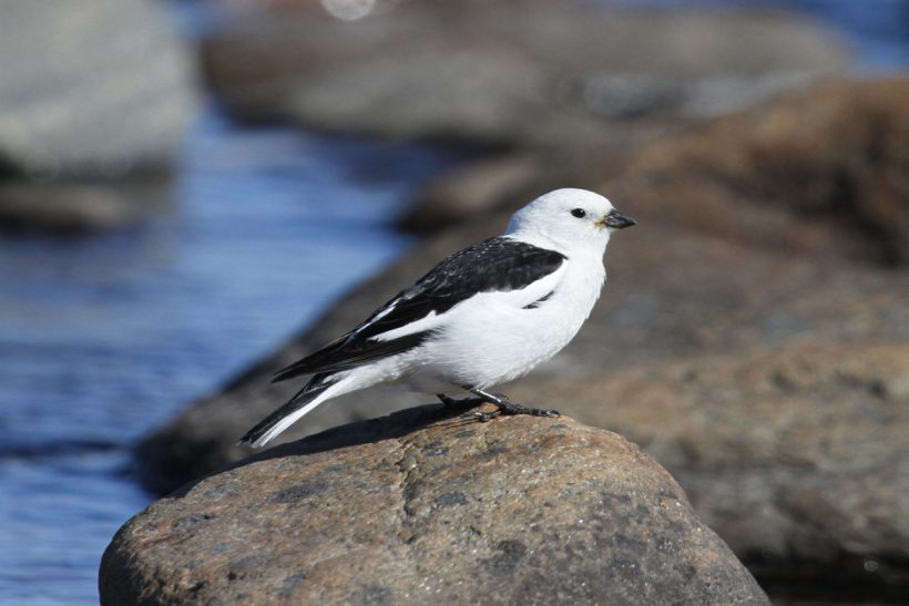 Feather by feather: the snow bunting