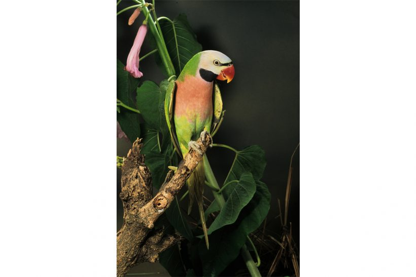 Beautiful parrots: the moustache parakeet