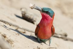 Pretty in pink: the carmine bee-eater