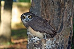 Spectacled Owl: The scariest stare on earth?
