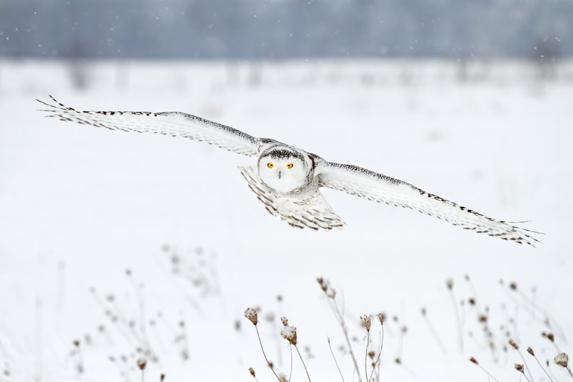 Upgraded snowy owl one step away from Endangered