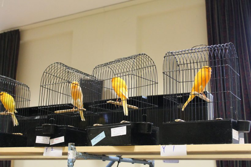 Thieves return in shock canary theft in Reading