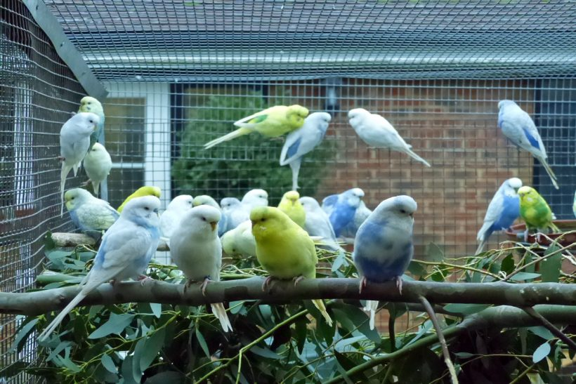 A budgerigar aviary filled with life, colour and fun