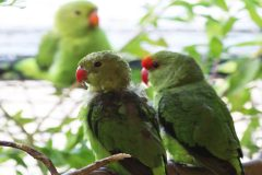 Hayle park displays first Abyssinian lovebird chick