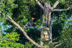 Threatened rhinoceros hornbills use artificial nest-boxes in world first
