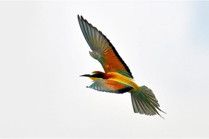 Bee-eater: my dream bird