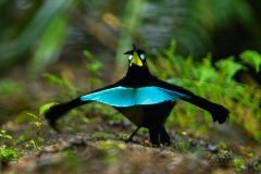 New bird-of-paradise species officially named