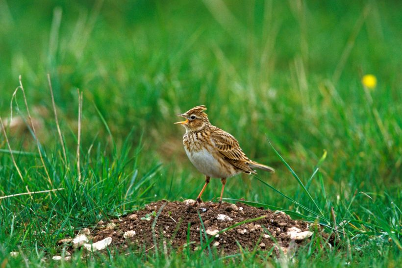 Special skylark plots could help save declining farmland species in Europe
