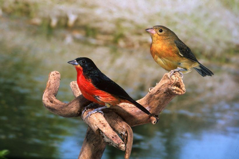Adventures with South American songbirds
