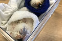 Suspected smuggler arrested at Heathrow Airport with live vulture chicks and eggs