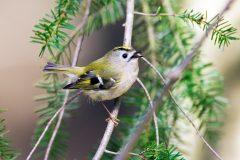 Why kinglets are the best of the crests