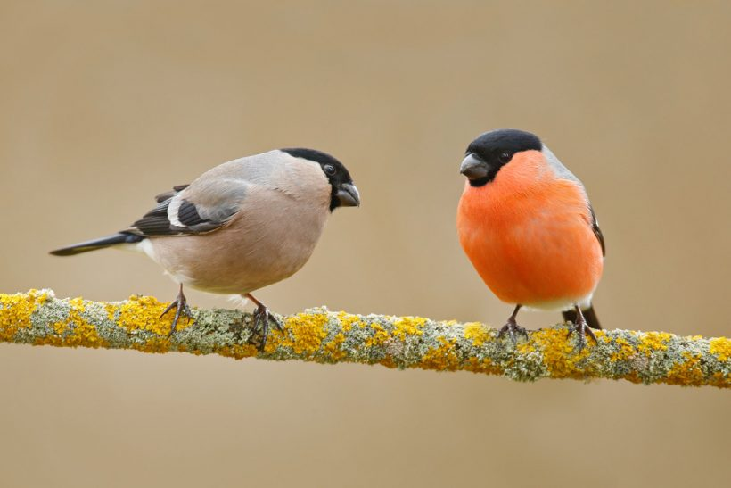 First experiences with bullfinches