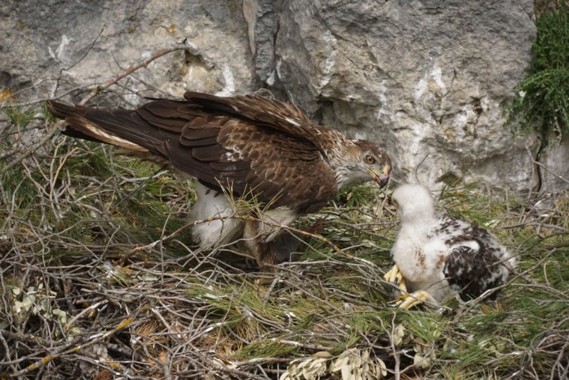 Devastating Portuguese forest fire threatens Bonelli's eagle population