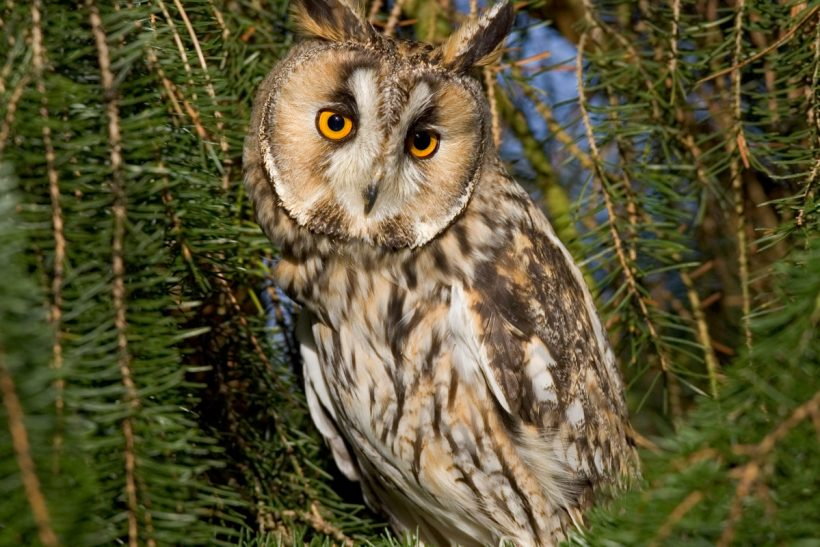 Contrasting 'eared' owls
