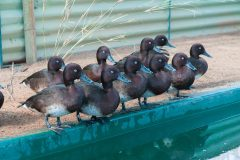 Floating aviaries set to protect rare pochards in Africa