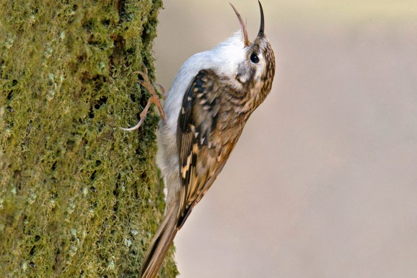 A feathered 'tree mouse'