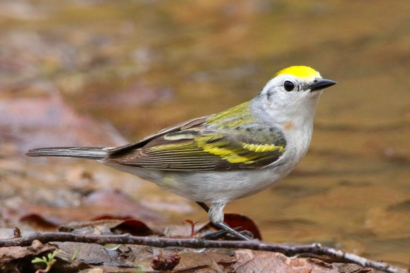 Rare three-species hybrid warbler discovered in America
