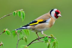 Fine and curfew for Kent man who trapped wild birds