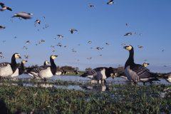 Protection for barnacle geese remains in place