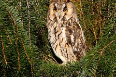 Fears for breeding owls as frackers start drilling