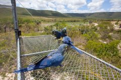 Endangered macaws successfully released in Brazil
