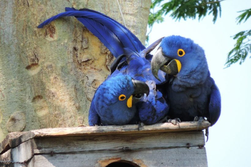 Research on assisted reproduction in parrots