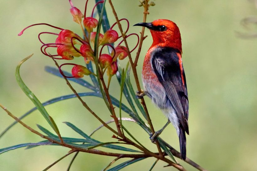 Food fit for a honeyeater