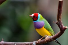Study reveals why Gouldian finches have kept their vibrant plumage